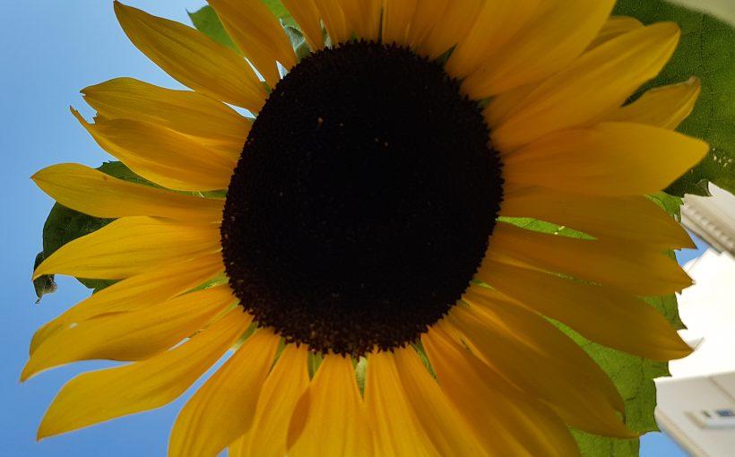 Sonnenblume_Energiepflanze_Wärmemix_2016